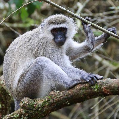 Apina puussa.