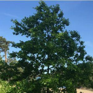 Theresa fotograferade dessa ekar. Den ena full med hängen, den andra med stora gröna blad - finns det olika typer av ekar?