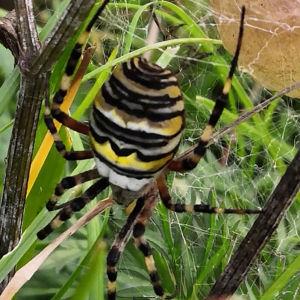 En svart, vit och gulrandig spindel