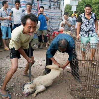 Koiria kohdellaan kovakouraisesti Yulinissa, missä järjestettiin kesäkuun lopulla vuosittaiset koiranlihafestivaalit.