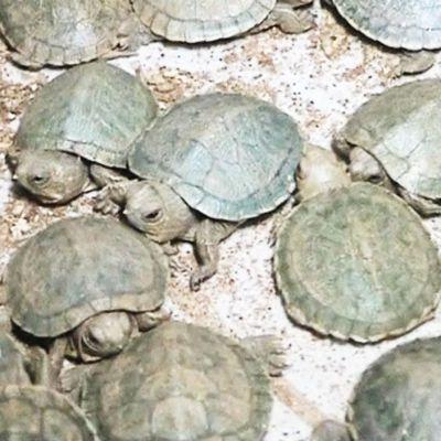 Intian viranomaisten pelastamia kilpikonnia Kolkatan lentokentällä.