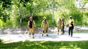 Fyra brandmän och en annan person försöker styra en svanfamilj bort från en bilväg.