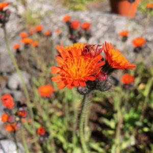 Två bilder på blommor med orange-röda kronblad.
