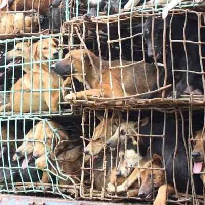 Thaimaa koiria häkissä.