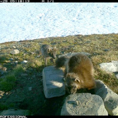 Ahma naalinpesässä syömässä poikasia Nordlannissa Pohjois-Norjassa.
