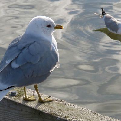 Kalalokki seisoo laiturilla, toinen ui vedessä