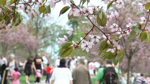 Körsbärsträden är i full blom