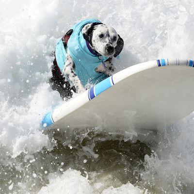 Surffaava koira.