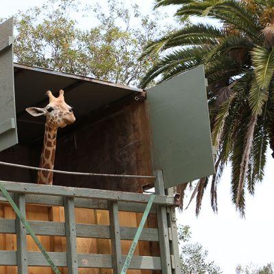 Kirahvia kuljetettiin rekalla Tarongan eläintarhaan Sydneyyn, Australiassa vuonna 2012.