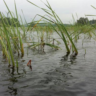 vesikasvillisuutta evijärvessä