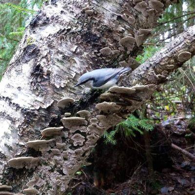 Pähkinänakkeli WWF:n Luontoliven uusimmassa lähetyksessä, jossa katsoja pääsee seuraamaan lintujen talviruokintaa vanhassa, suojellussa metsässä.