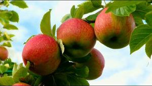 Fyra stora röda äpplen hängande på en kvist