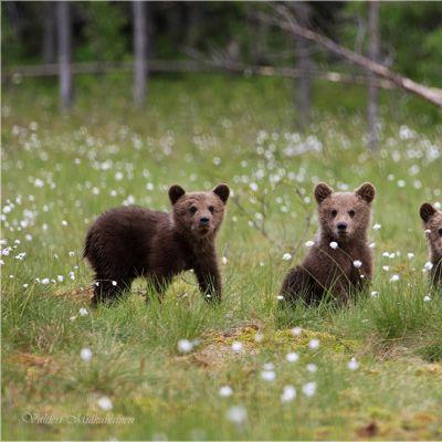 Kolme karhunpoikaa katsoo suoraan kameraan.