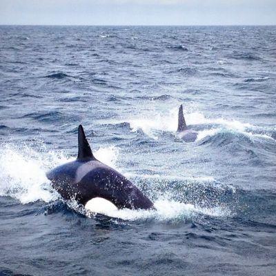Ruotsin merivartioston kuvaamat miekkavalaat.