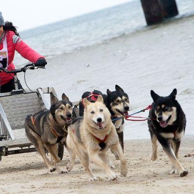 Lumenpuutteen vuoksi Baltic Lights -koiravaljakkokisassa Usedom-saarella Saksassa käytettiin pyörillä varustettuja vaunuja rekien sijasta