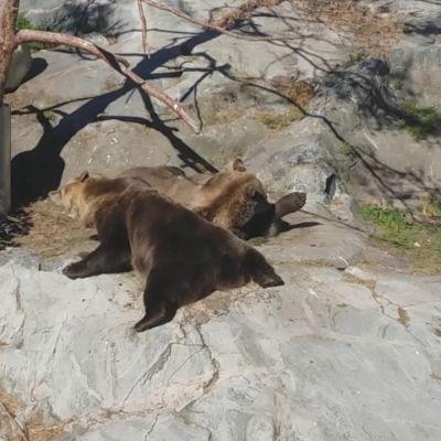 Korkeasaaren karhut piehtaroivat etanoiden päällä kalliolla.