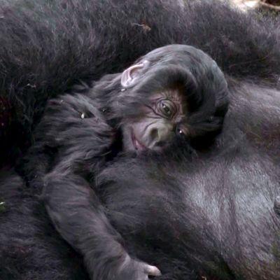 Vuorigorillan poikanen emonsa vatsan päällä Virungan kansallispuistossa Kongossa.