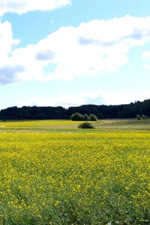 En rypsåker på en solig dag. På höger sida syns elledningar.