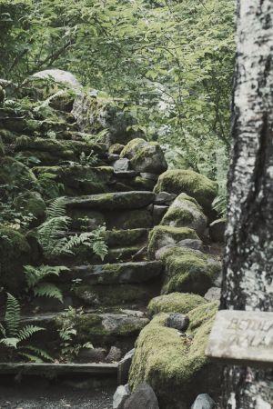 """Sammalten peittämät portaat nousevat ylös rinnettä, ympärillä saniaisia ja vehreää kasvustoa, kuvan oikeassa laidassa jäkäläinen puunrunko, rungossa kyltti """"Taalaanmaankoivu"""" ja latinankielinen nimi."""
