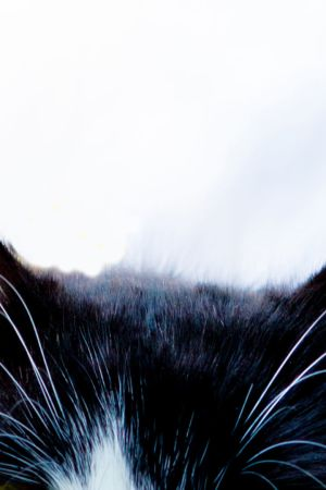 Mustan kissan korvat.