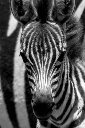 Luontodokumentti kertoo Afrikan savannille syntyvän Punda-seepran tarinan.