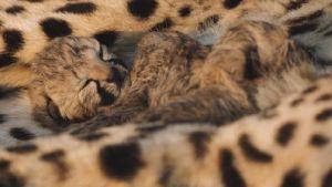 Gepradin poikanen