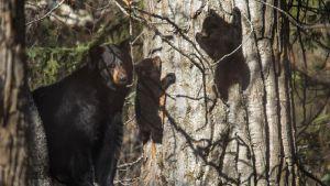 Avara luonto: Eläinten supervanhemmat. Karhuemo ja pennut.
