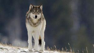 Avara luonto: Amerikan kansallispuistot. Kuvassa susi.