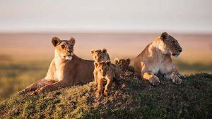 Leijonaperhe