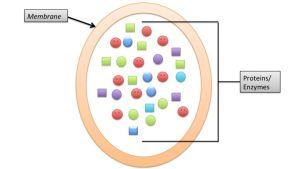 lysosomi