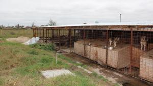 koiria häkeissä laaja kuva romania maaseudulla