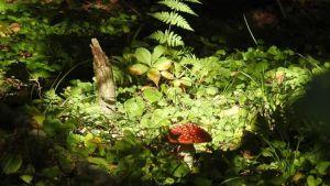 Punakärpässieni metsän keskellä autringonvalossa