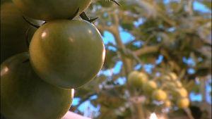 Omogna tomater