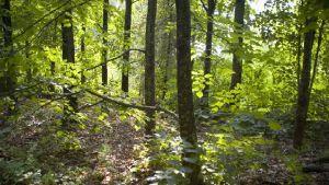 Lövskog i Runsala