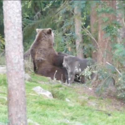 Björnmamma ger di åt fyra ungar