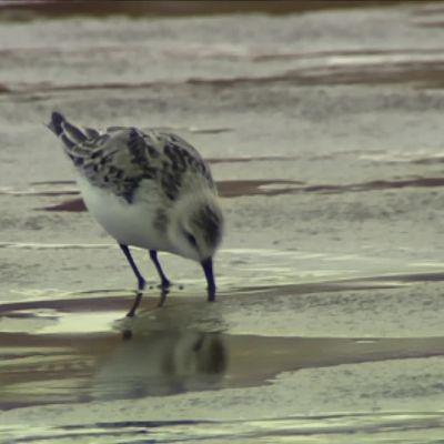 Pumussirri seisoo rantavedessä, nokka vedessä.