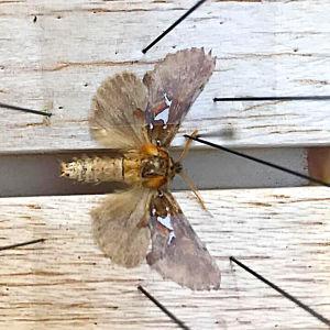Spatalia argentina - uusi perhoslaji Suomessa.