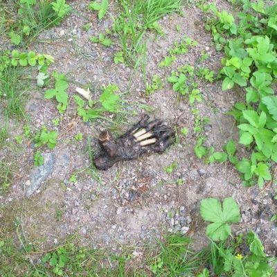 Oikeuslääkärin suorittamassa tutkimuksessa selvisi, että kyseessä ei ole ihmisen jalka, vaan karhun.