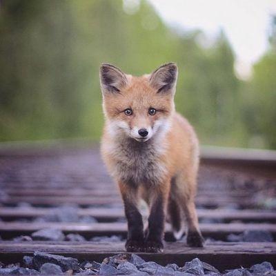 Luontovalokuvaaja Konsta Punkan ottama kuva ketusta Lappeenrannassa