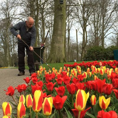 Puutarhuri hoitaa tulppaaneja