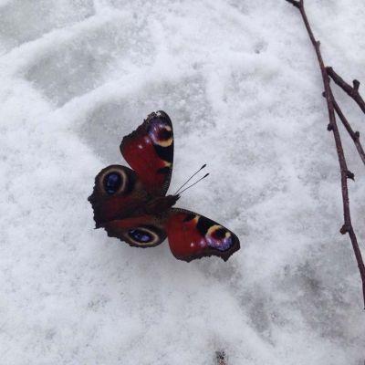23.2.2015 Ahvenlammella kuvattu perhonen