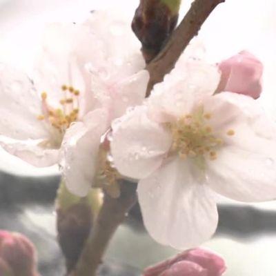 Uutisvideot: Kirsikkapuiden kukinta alkoi Japanissa