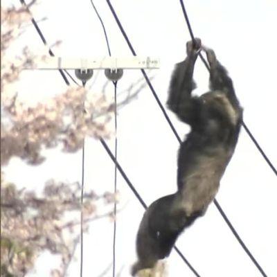 Uutisvideot: Karannutta simpanssia jahdattiin Japanissa