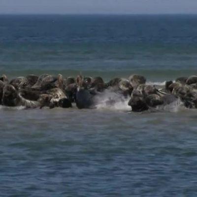 Uutisvideot: Kilometrikaupalla hylkeitä Monomoyn saarella