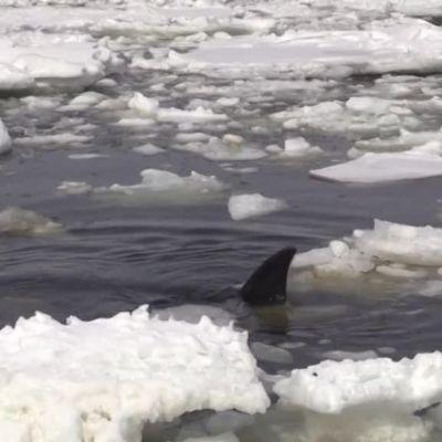 Uutisvideot: Venäjällä pelastettiin jäihin juuttuneita miekkavalaita
