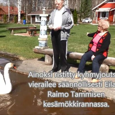 Yle Uutiset Häme: Kesy kyhmyjoutsen tupsahti mökkirantaan Hämeenlinnassa