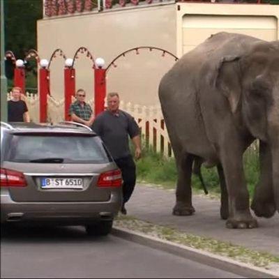Uutisvideot: Sirkusnorsu käy päiväkävelyillä Berliinissä