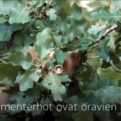 Yle Uutiset Häme: Orava hamstraa talven varalle