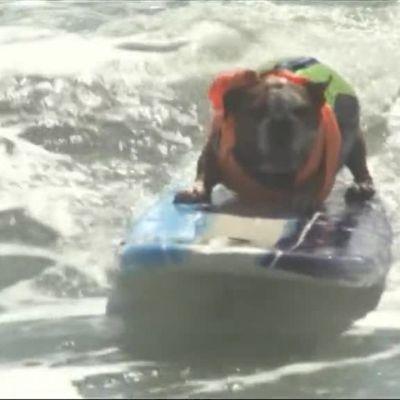 Uutisvideot: Koirat kilpailivat lainelautailussa
