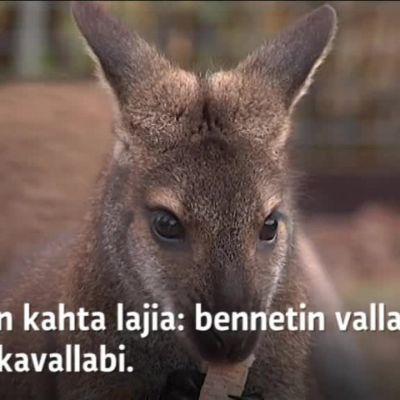 Yle Uutiset Lounais-Suomi: Eksoottiset kengurut hurmaavat Pöytyän Kyrössä